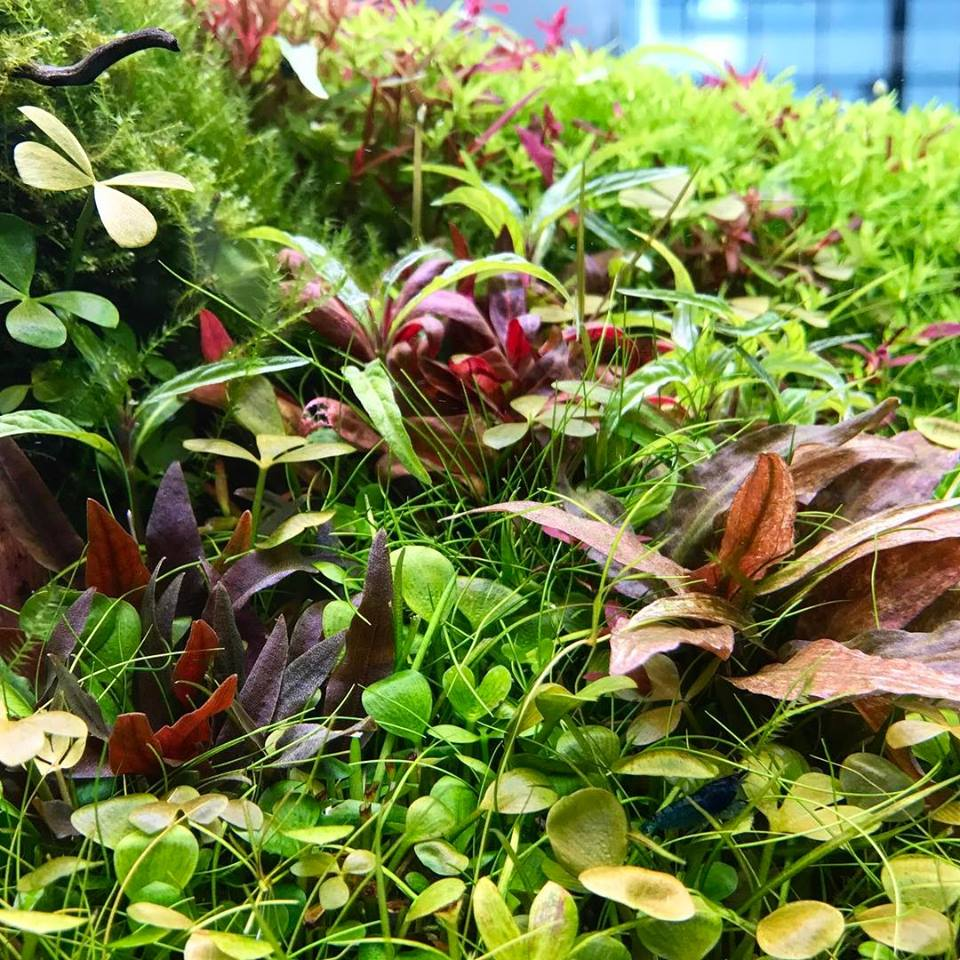 cỏ bợ 4 lá phát triển trong hồ thủy sinh