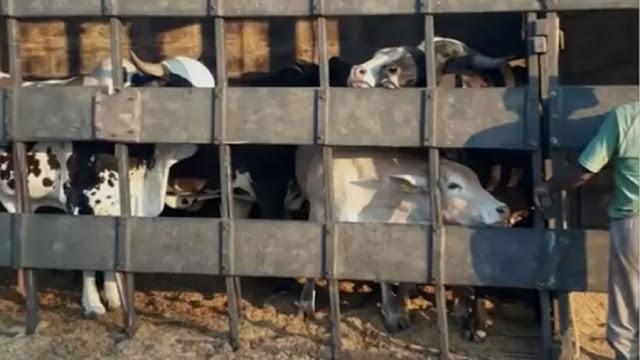 Caminhão carregado com gado bate em poste e tomba em rodovia de Mogi Mirim