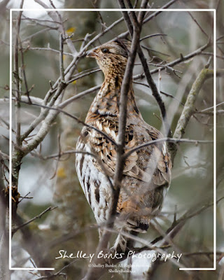 Ruffed Grouse climbing in the old orchard.  © Shelley Banks, 2016. All Rights Reserved.