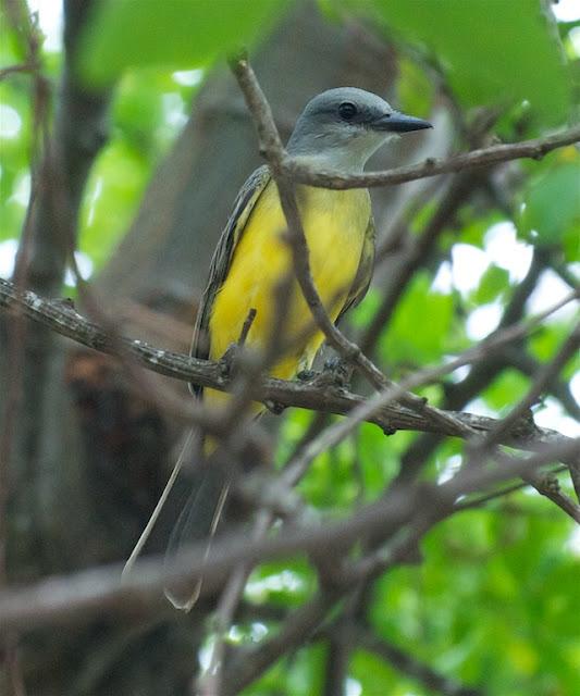 Tropical Kingbird (Tyrannus melancholicus)