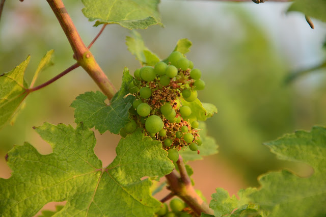 Vignoble Vallonne