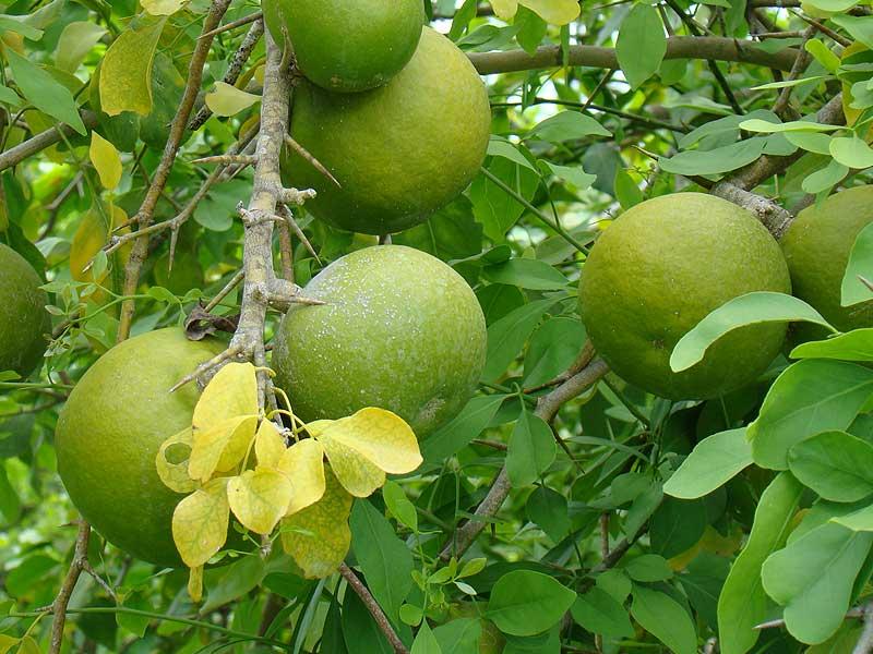 Bael fruit pictures (Aegle marmelos)