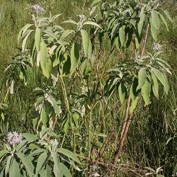 Fumo bravo Solanum granulosum-leprosum
