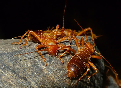 amazing facts about earwigs