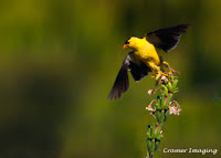 Cramer Imaging's professional quality nature animal photograph of yellow goldfinch bird taking off to fly in Pocatello, Bannock, Idaho in 5x7 format