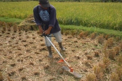 Cara Budidaya padi salibu yang baik di semua jenis lahan pesawahan