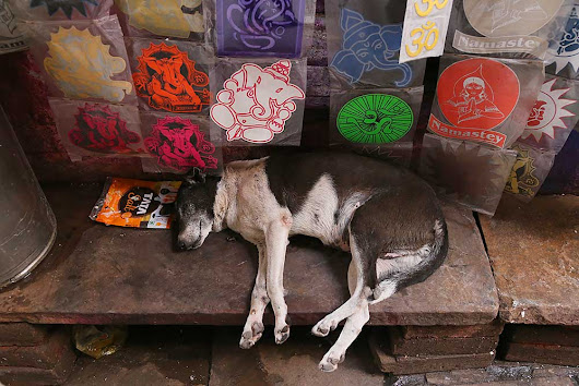 Exploring Varanasi with it's dogs...and why Indian dogs are dying out...