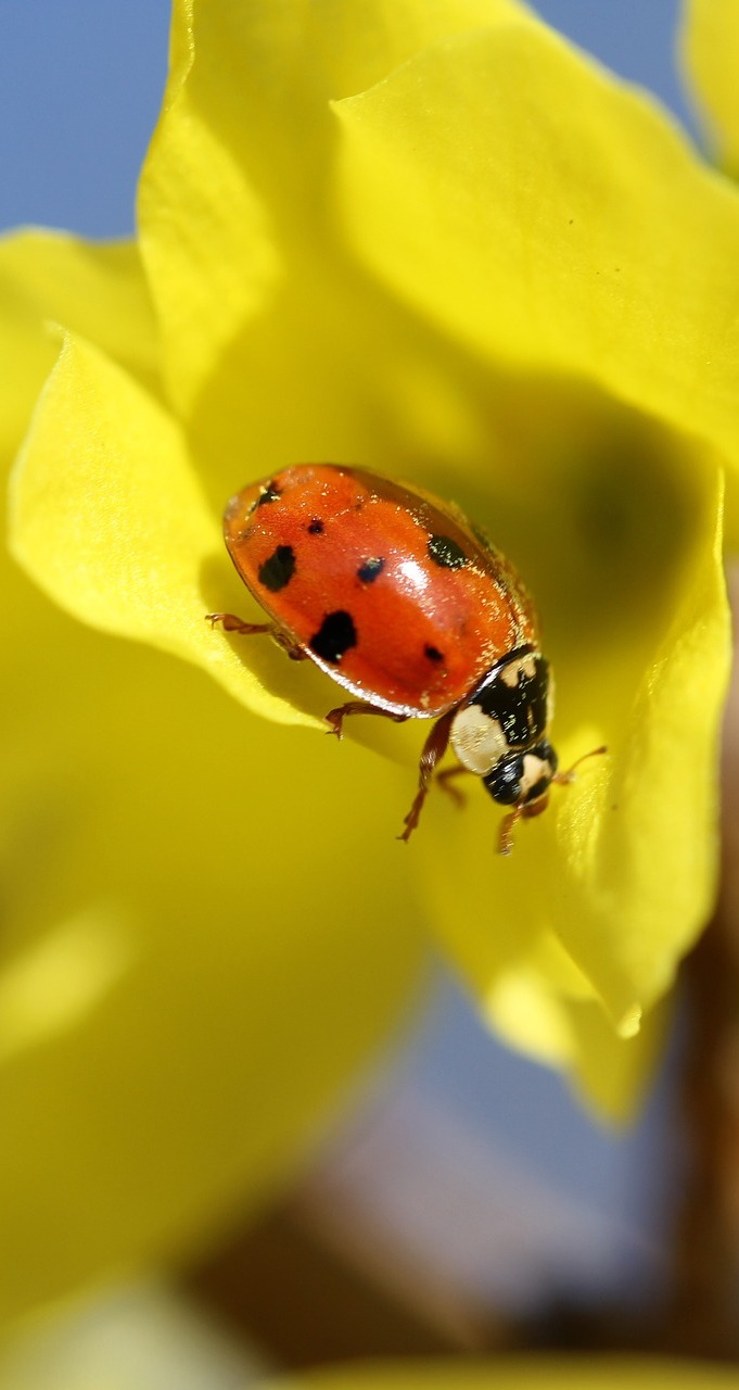 A ladybug dusted with pollen.