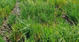 obat padi kerdil rumput, virus penyebab tanaman padi kerdil,gejala kerdil pada tanaman padi, penyakit kerdil disebabkan virus pada tanaman padi,penyebab penyakit kerdil pada tanaman padi, mengatasi kerdil pada tanaman padi, insektisida untuk padi kerdil,penyebab penyakit kerdil pada padi, obat padi kerdil rumput