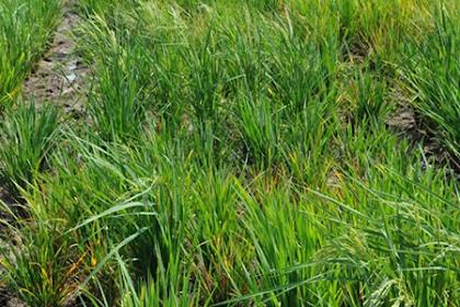 Pencegahan dan solusi terbaik, untuk mengendalikan penyakit kerdil pada tanaman padi
