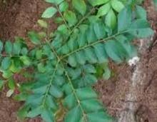 Curry Leaves meaning in English, hindi, telugu,tamil,marathi,Gujrathi,Malayalam,Kannada