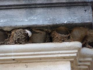 Hirondelle de fenêtre - Delichon urbicum