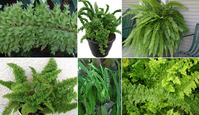 Maintaining and Care of Ornamental Ferns