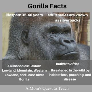 Gorilla photo and gorilla facts