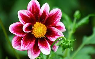 tanaman hias termahal di indonesia,bunga paling mahal di indonesia,bunga termahal dan terindah di dunia,tanaman mahal cepat panen,bunga juliet rose,bunga aglaonema,tanaman hias termahal saat ini,