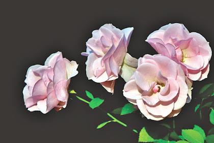 Mawar Merah Jambu Pemberiannya