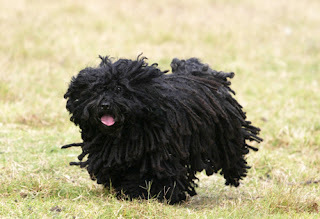 Everything about your Puli