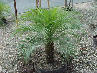Dwarf date palm, top air-purifying plant