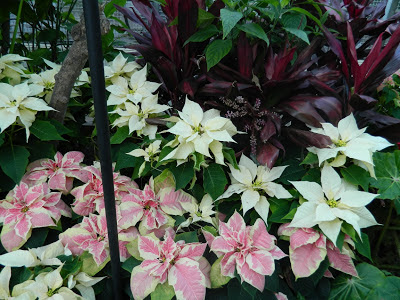 white and pink poinsettias with purple dracaena at allan gardens christmas flower show 2012 by garden muses: a toronto gardening blog