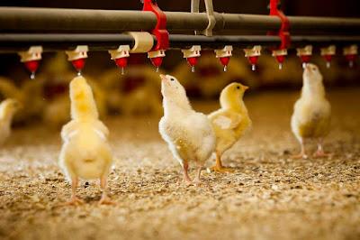 7 Macam Prinsip Pelaksanaan Biosecurity Peternakan (Ayam)