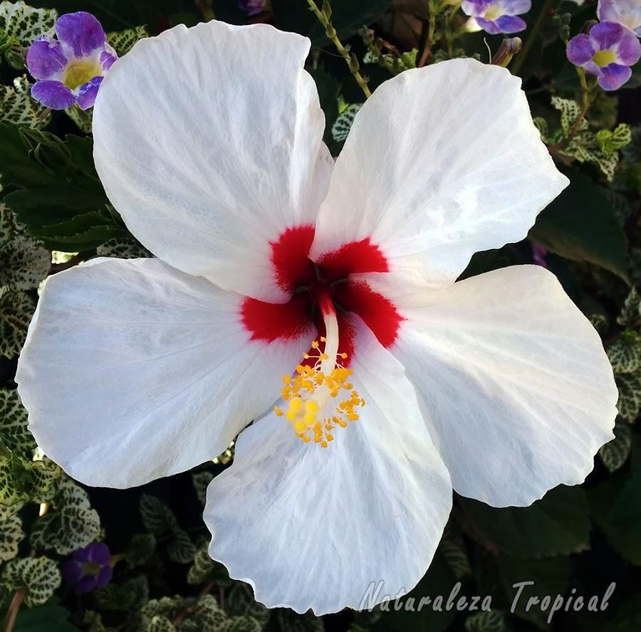 Variedad blanca con centro rojo de la flor de un Hibisco, género Hibiscus