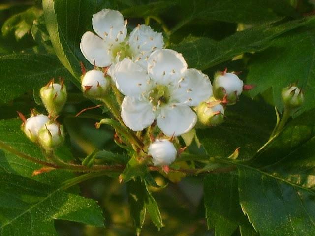 Hoa cây Sơn tra - Crataegus pinnatifida - Nguyên liệu làm thuốc Chữa Bệnh Tiêu Hóa