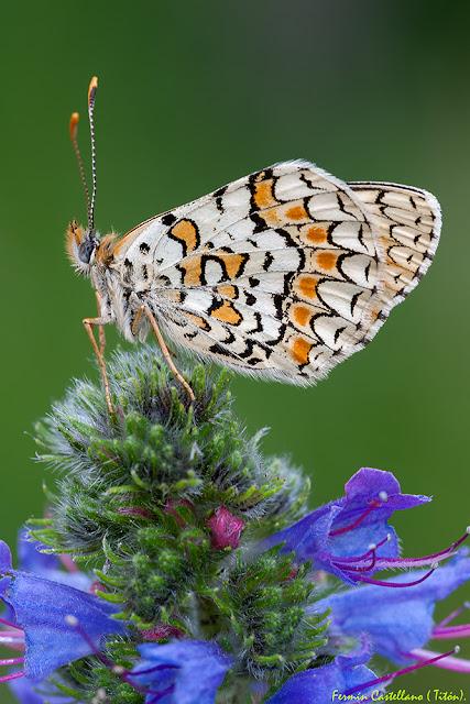 Doncella tímida (Melitaea didyma)
