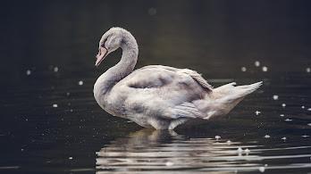Duck, 8K, 7680x4320, #50