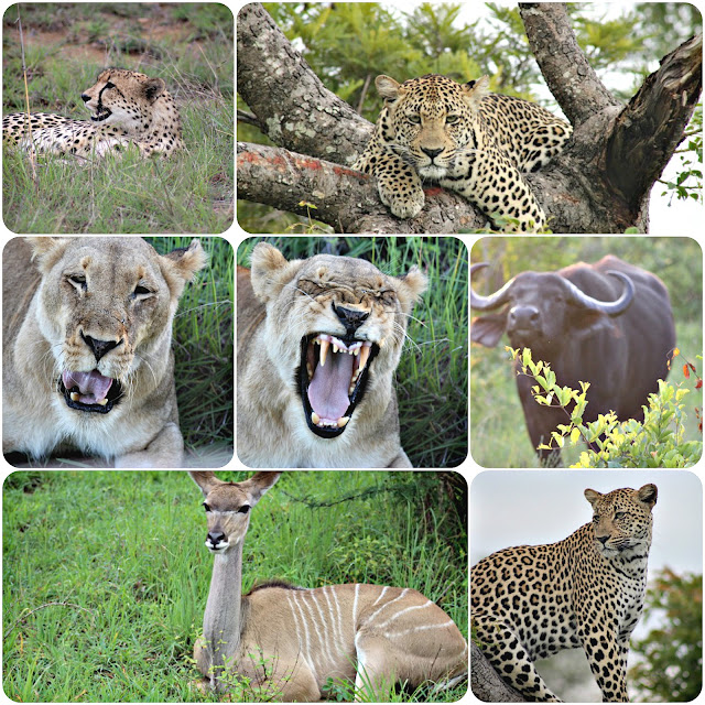 Safari at the Leopard hills Lodge in Sabi Sands, South Africa with leopards, lions, and much more
