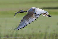 Sacred Ibis in Flight Woodbridge Island, Cape Town - Canon EOS 7D Mark II Copyright Vernon Chalmers