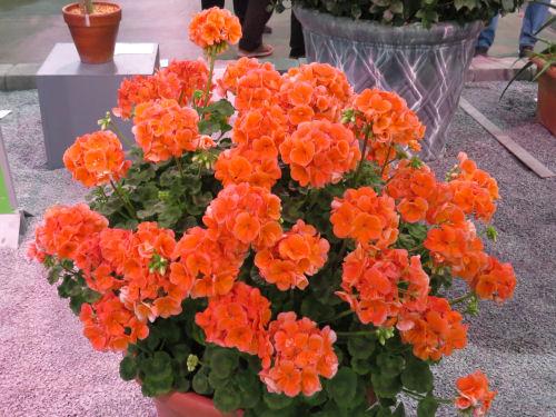 orange pelargonium