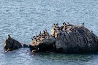 Cormorants in Bowman Bay