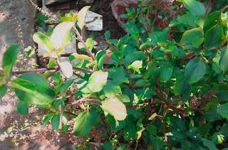 Green tulsi
