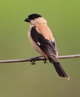Suara Burung Caboclinho