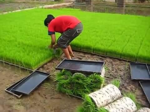 Cara semai padi menggunakan media pot dengan system modern