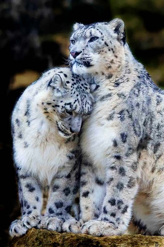 Snow Leopards A1 Pictures