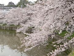 谷戸池の桜