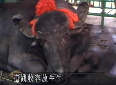 TVB新聞報道 - 1988年「神牛」顯靈