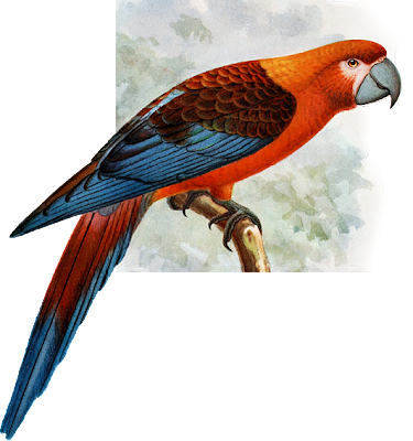 Extinct Cuban Red Macaw
