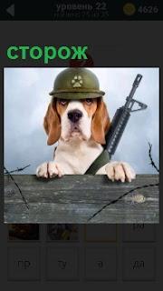 Из - за ограды выглядывает собака сторож в каске на голове и с ружьем в лапах, серьезное выражение морды