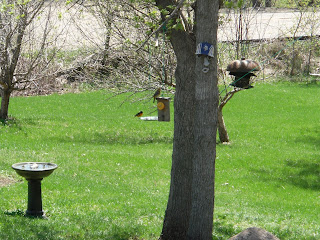 orioles eating on orange feeder