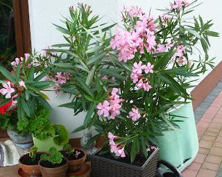 jak robić sadzonki oleandra