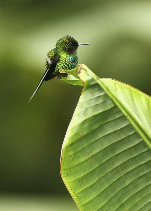 Very small green hummingbird on leaf