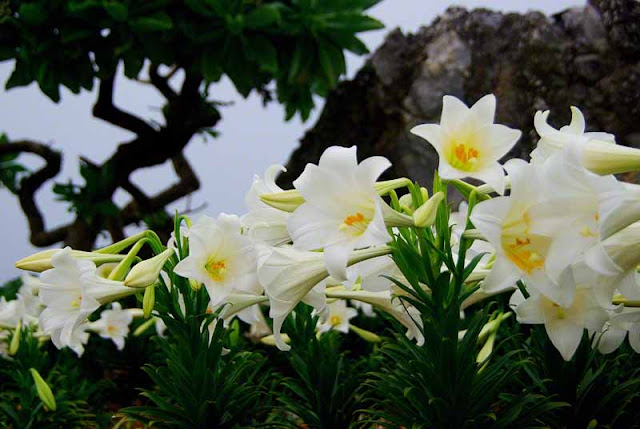 lilies, flowers, white, island, matsuri, Iejima