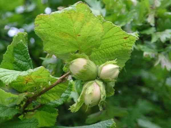 Hazel or cob nuts