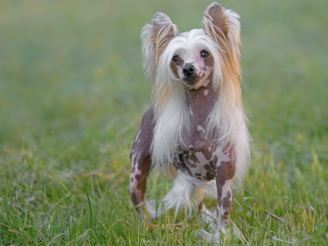 The Chinese crested