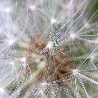 Dandelion clock, taken with iPhone 6s and Olloclip macro lens