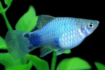 Gambar Ikan Blue Mickey Mouse Platy