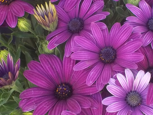 An image of some Blue-Eyed African Daisies