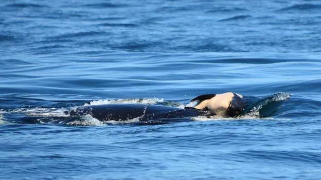 La ballena que arrastró a su cría muerta durante días